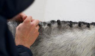 Plaiting grey pony