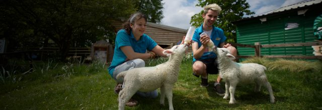Animal Care staff bottle feeding lambs